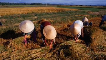 Вьетнам Рис поле