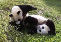 Детеныши панды играют в мадридском зоопарке