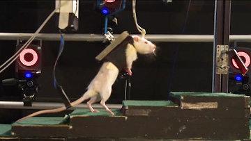 Крысы передвигаются на двух лапах с помощью тренажера. Кадры эксперимента