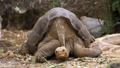 Черепаха по кличке Одинокий Джордж