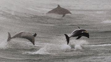 Дельфины приплыли к берегу Bondi Beach в Сиднее, Австралия