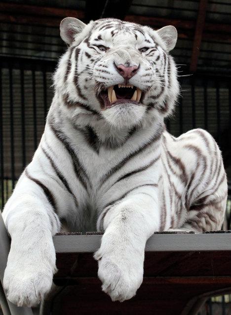 Бенгальский белый тигр