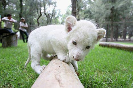 Белый львенок, родившийся 14 сентября в зоопарке Леона, играет в вольере