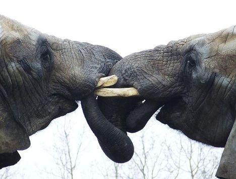 Целующиеся слоны в зоопарке Торонто