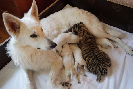 Собака с щенками и тигренком