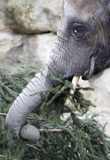 Слон ест елку взоопарке Вены
