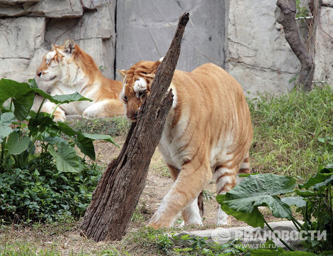Тигры в южно-китайском сафари-парке Chimelong