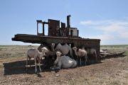Верблюды на кладбище кораблей в Аральском море