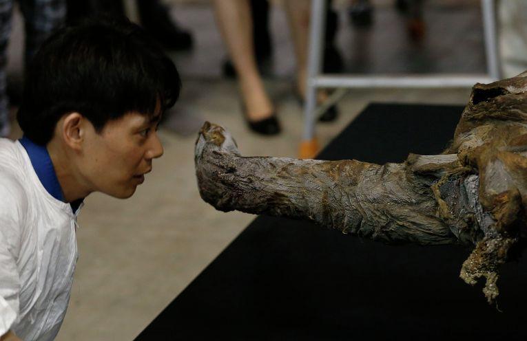 Туша мамонта, найденного в Сибири, в музее Йокогамы, Япония