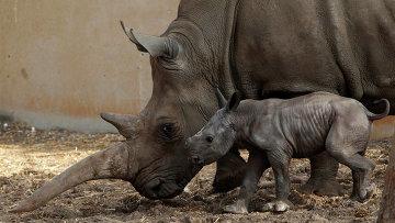 В Израиле родился белый носорог