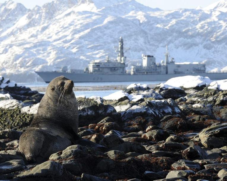 Тюлень на острове Южная Георгия