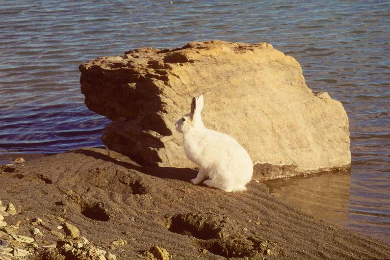 Заяц на острове Элсмир