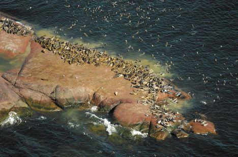 Тюлени на Аландских островах