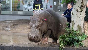 Гиппопотам, сбежавший из зоопарка Тбилиси во время наводнения