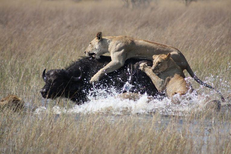 Львы нападают на черного буйвола