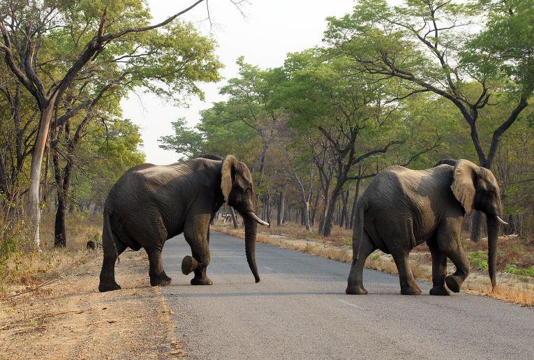 Слоны в парке дикой природы Хванге в Зимбабве