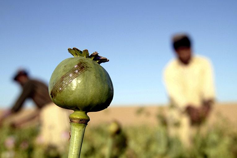 Сбор урожая на поле опиумного мака в провинции Кандагар, Афганистан