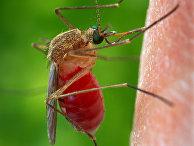 Комар Culex quinquefasciatus, переносчик лихорадки Западного Нила