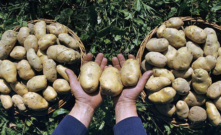 """Картофель сорта """"Темп"""""""