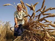 Женщина косит пшеницу серпом в поле возле деревни Даниловичи Гродненской области