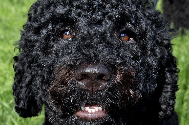 Санни, одна из двух собак президента, во время прогулки на Южной лужайке Белого дома