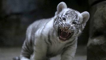 Новорожденный белый тигр в зоопарке Чехии. Апрель 2016