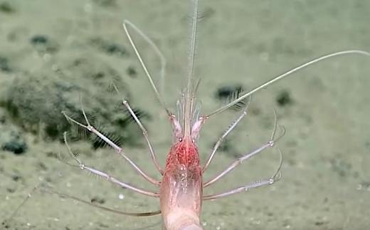 Живые организмы на дне Марианской впадины