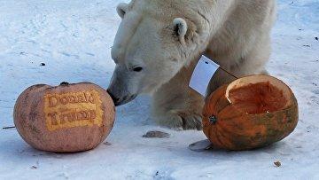 Тигрица и белый медведь из Красноярска предсказали результат президентских выборов в США