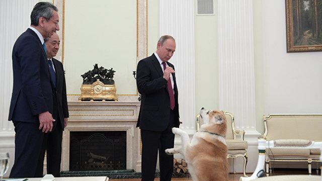 President Online (Япония): популярность породы собак акита-ину пошла в России от Путина