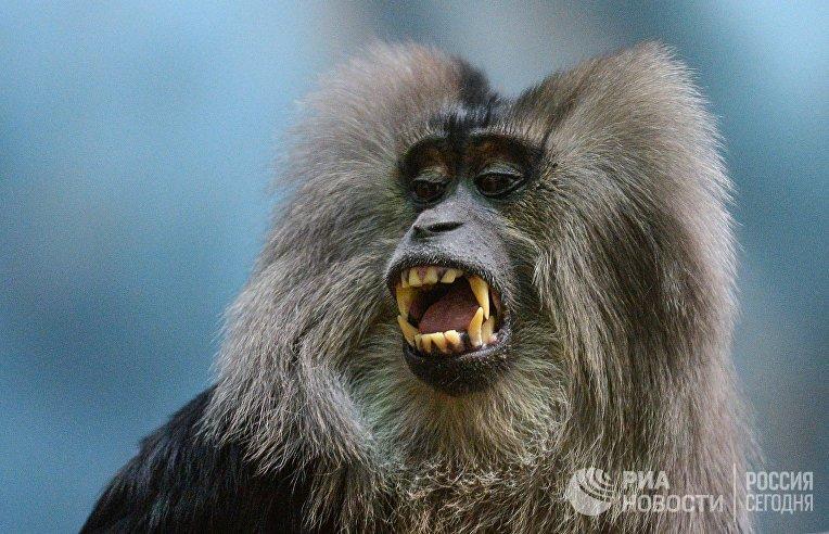 Обезьяна львинохвостый макак в Московском зоопарке