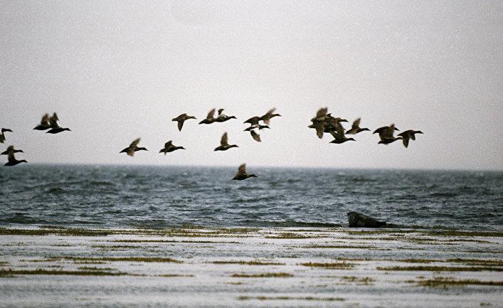 Стая птиц летит над Белым морем