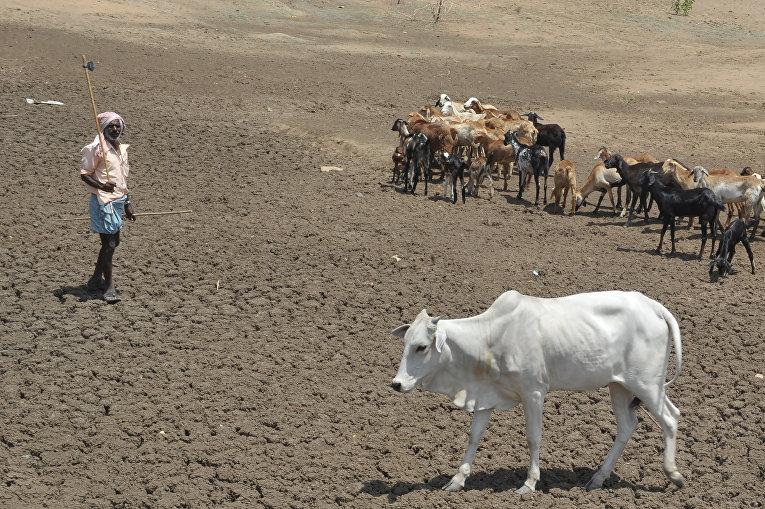 Индийский фермер пасет овец и крупный рогатый скот в русле засохшей реки в районе Бхуванагири
