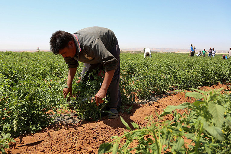 Гастарбайтер из Египта работает на ферме в Рамте