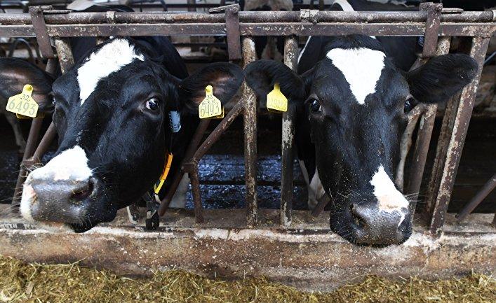 Племенные коровы на участке автоматизированной дойки