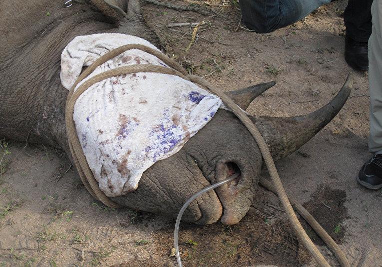 Носорогу в южноафриканском национальном парке Крюгер устанавливают датчик слежения для предотвращения случаев браконьерства