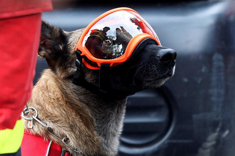 Испанская собака-спасатель по имени Типи готовится искать выживших после обрушения здания в районе Рома