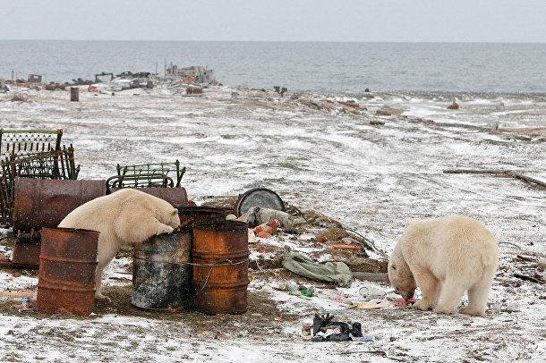 Изучая дикую природу Арктики на российском острове Врангеля