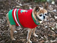 Чихуахуа по кличке Коко в рождественском свитере в Лос-Анджелесе