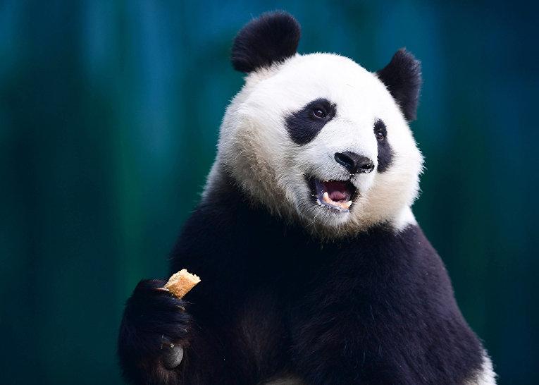 Панда в шэньянском лесном зоологическом саду в Шэньяне, Китай