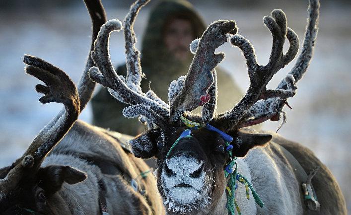 Выпас оленей в Ненецком автономном округе