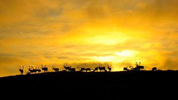 Северные олени в Финнмарке, Норвегия