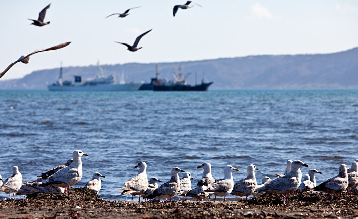 Чайки на берегу Южно-Курильского залива на острове Кунашир Курильской гряды