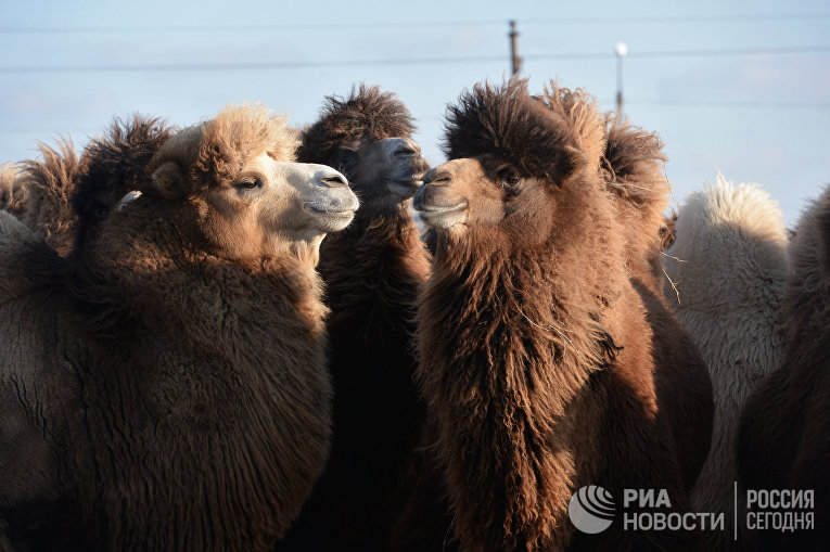 Верблюды во время одного из этапов эстафеты Олимпийского огня в Республики Калмыкия