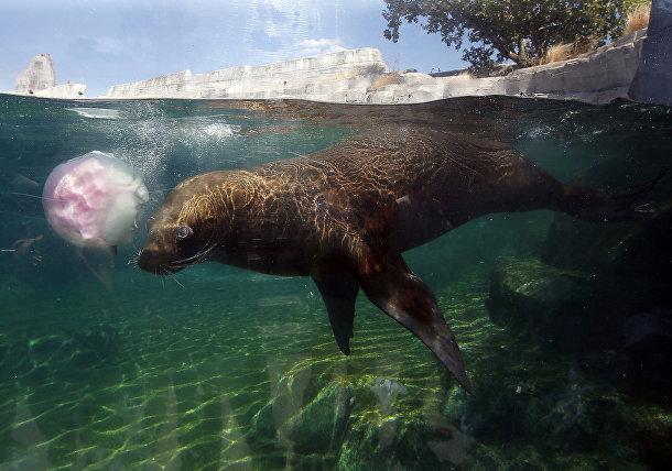 Тюлень играет с кубиком льда в парижском зоопарке во Франции