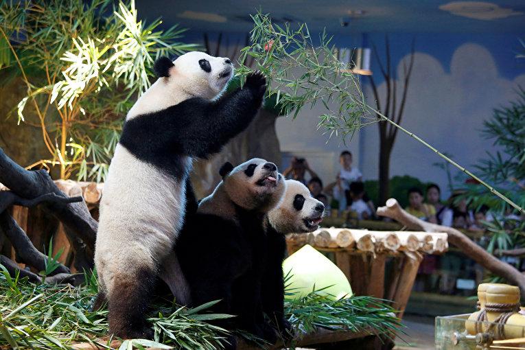 Единственные в мире гигантские панды-тройняшки