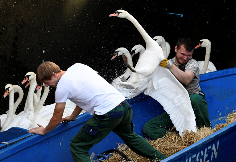 Ловля лебедей на озере Альстер в центре Гамбурга