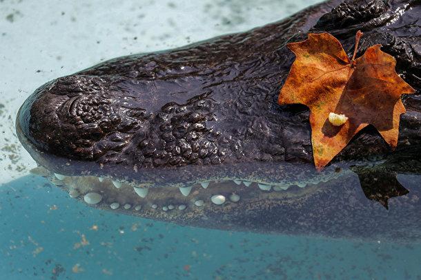 Старейший американский аллигатор в мире, живущий в неволе по имени Муя в зоопарке Белграда