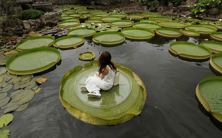Девушка позирует для фотографии на листе гигантской лилии в Тайбэе, Тайвань