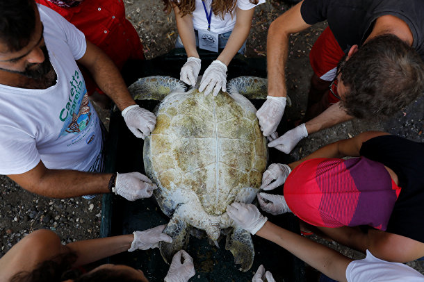 Раненная черепаха, спасенная сотрудниками центра спасения морских черепах в Турции