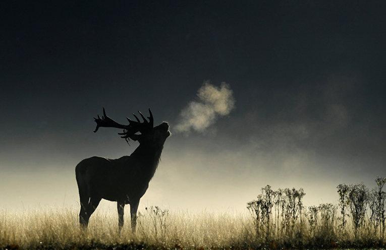 Олень ранним утром в Ричмонд-парке, Великобритания